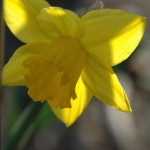 Flatbush Daffodil Project this weekend!